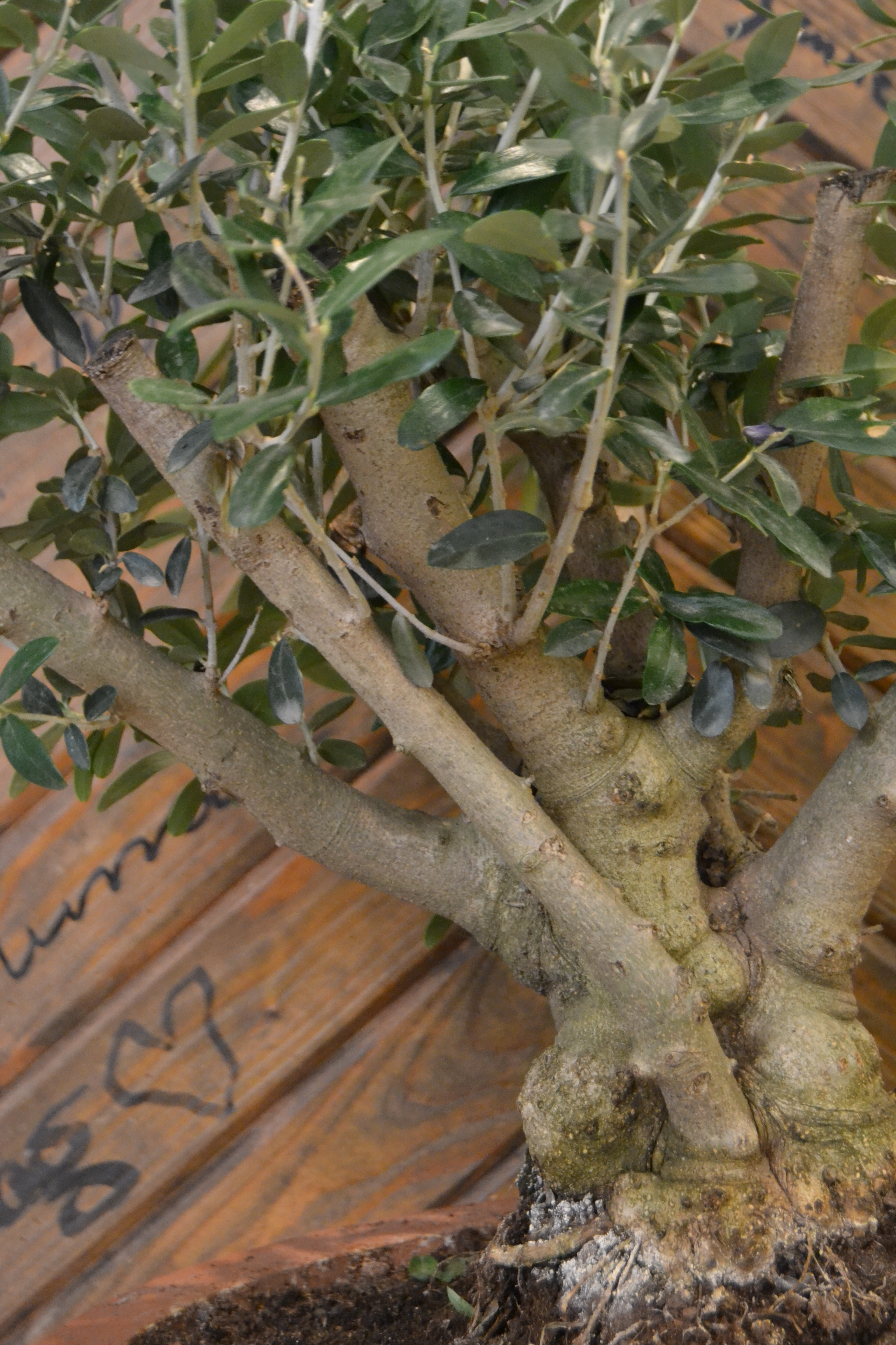bonsai olivträd