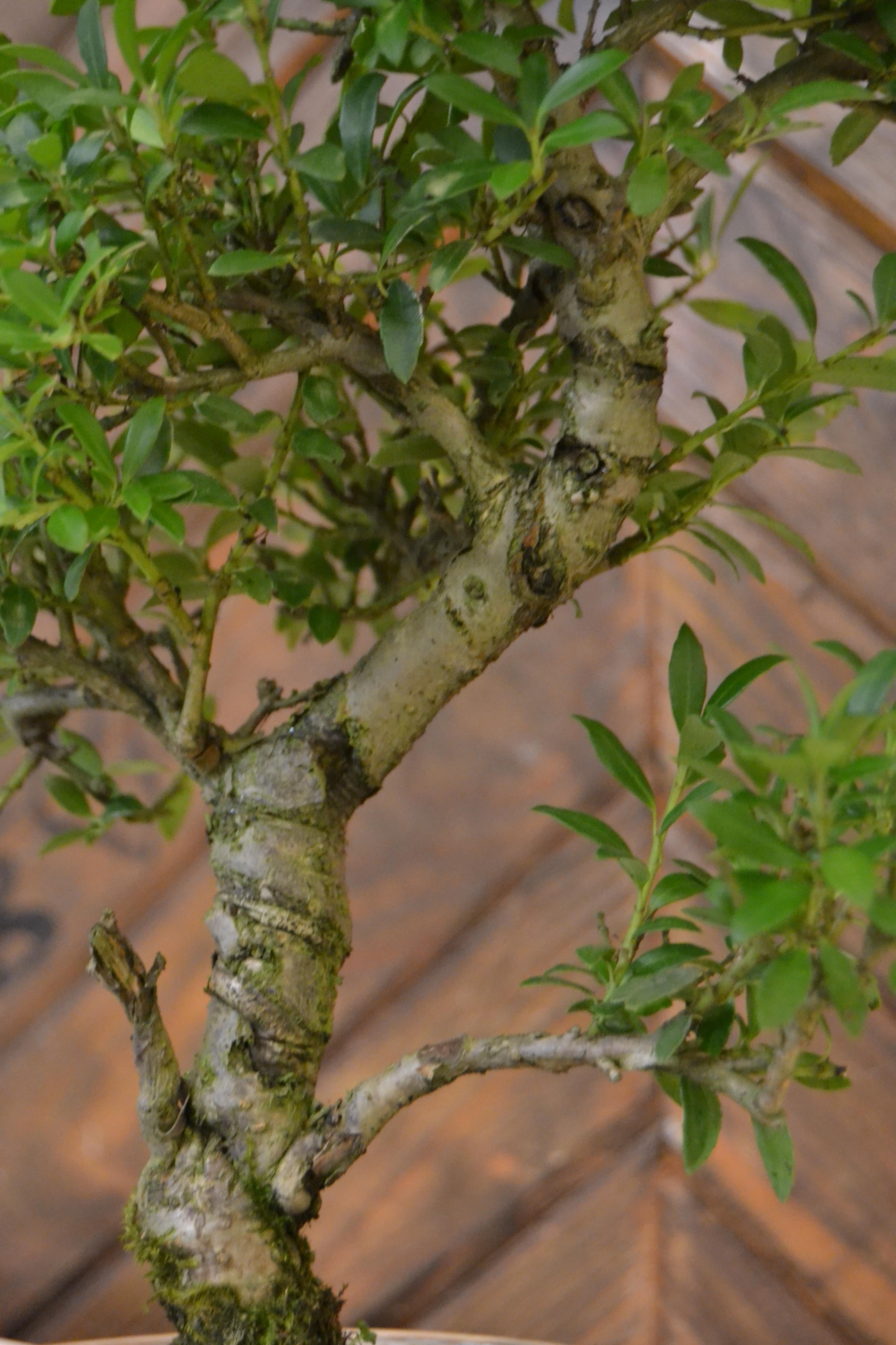 bonsai stam