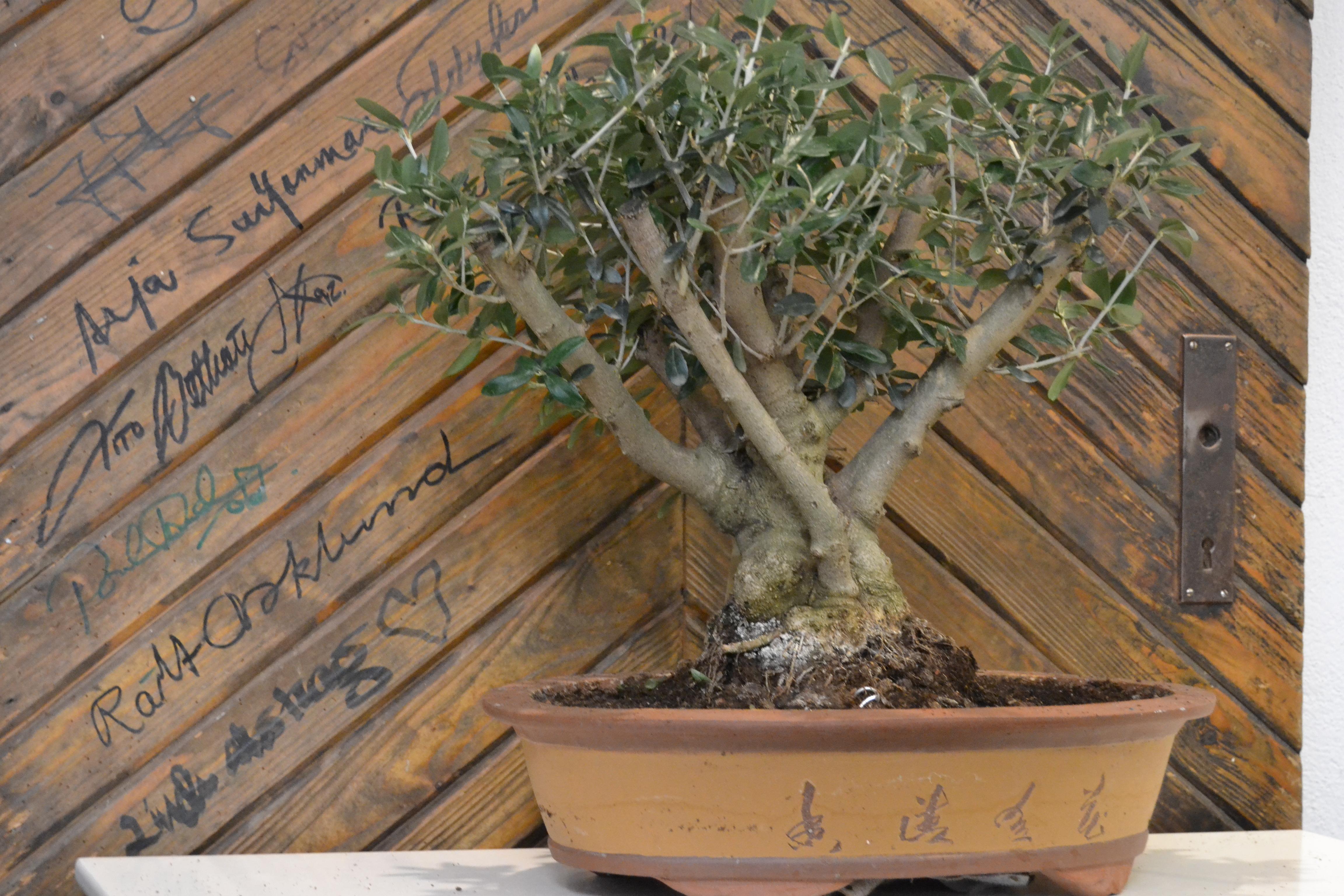 oliv bonsai + autografdörr