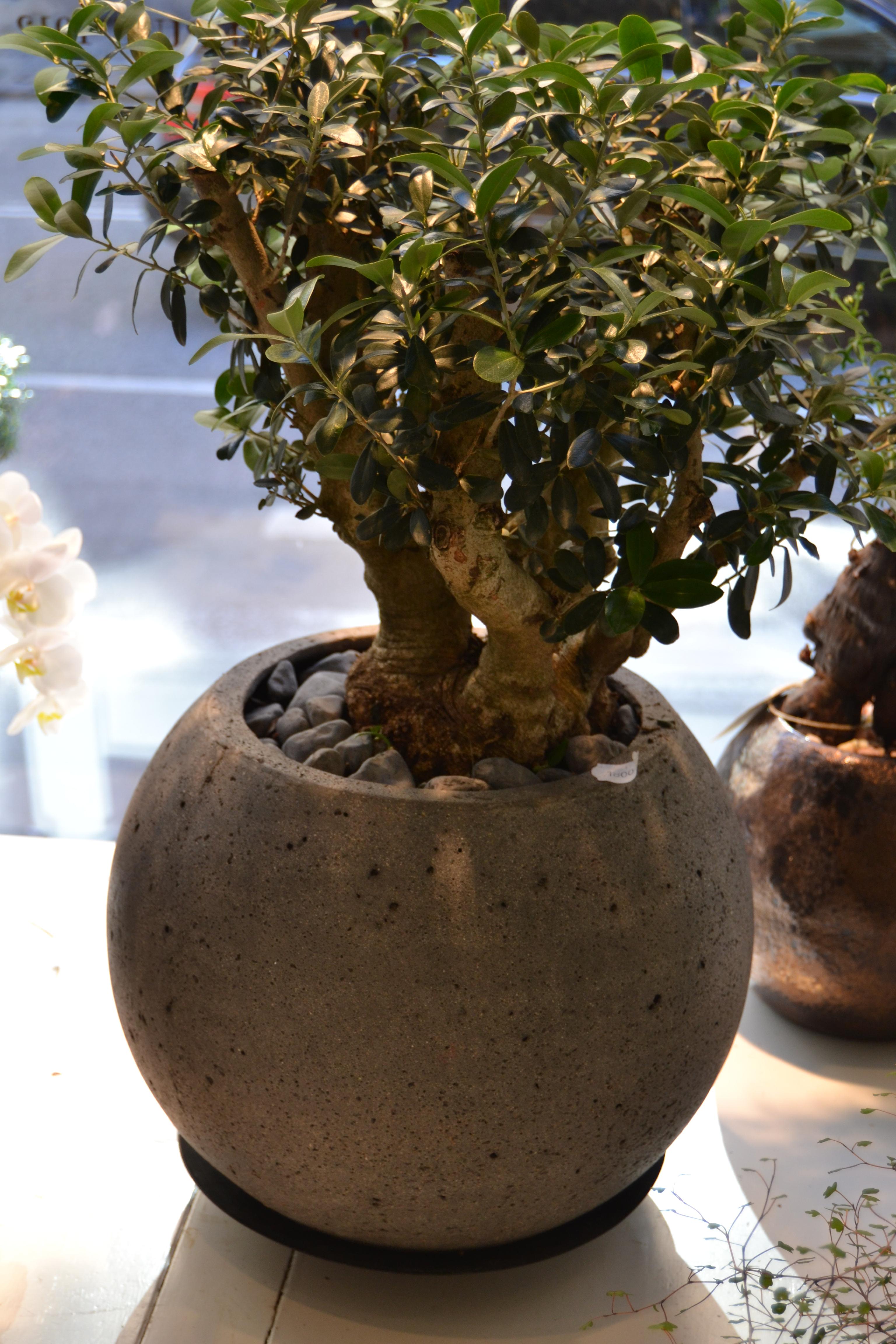 oliv bonsai i klotkruka