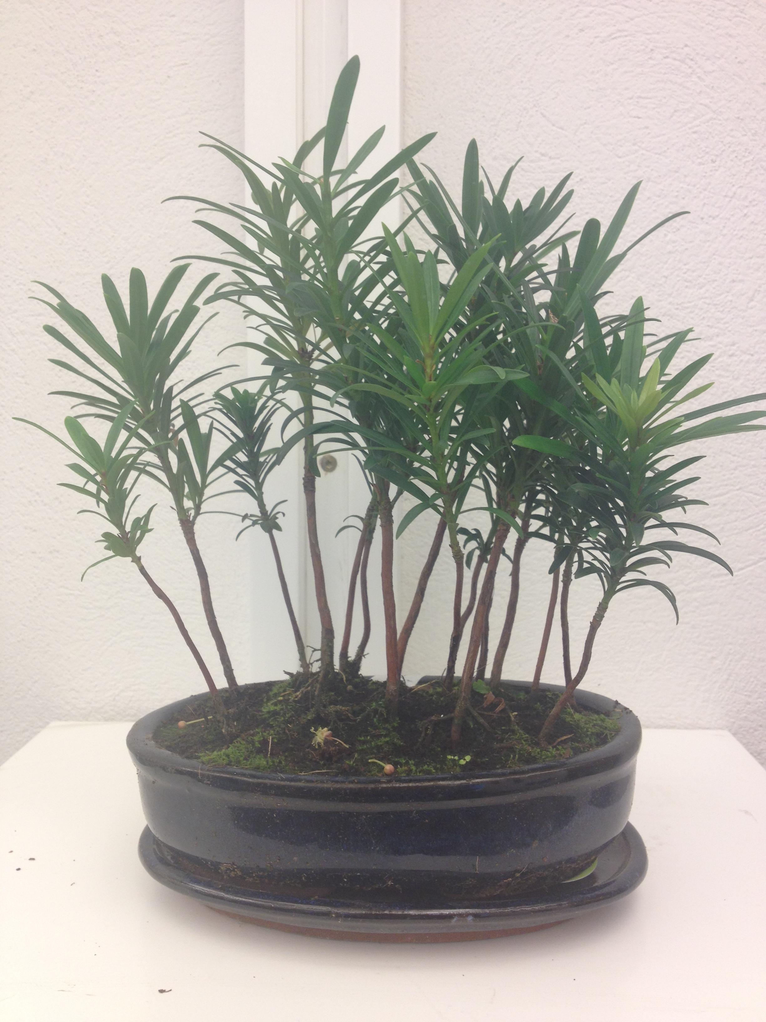 bonsai skog